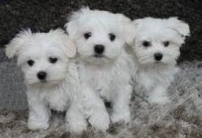 Cachorros de Bichon Maltes