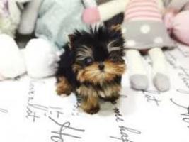 ///Regalo))))))))))))) mini toy yorkie, los cachorros se