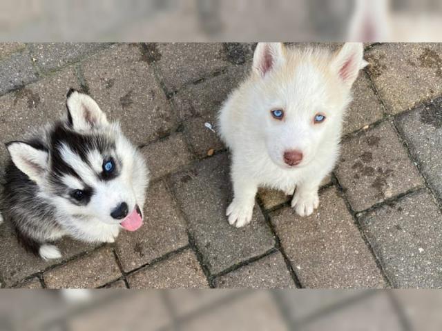 Disponemos de cachorros Husky machos y hembras regalo