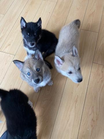 Espectaculares cachorros de husky siberiano de ojos azules