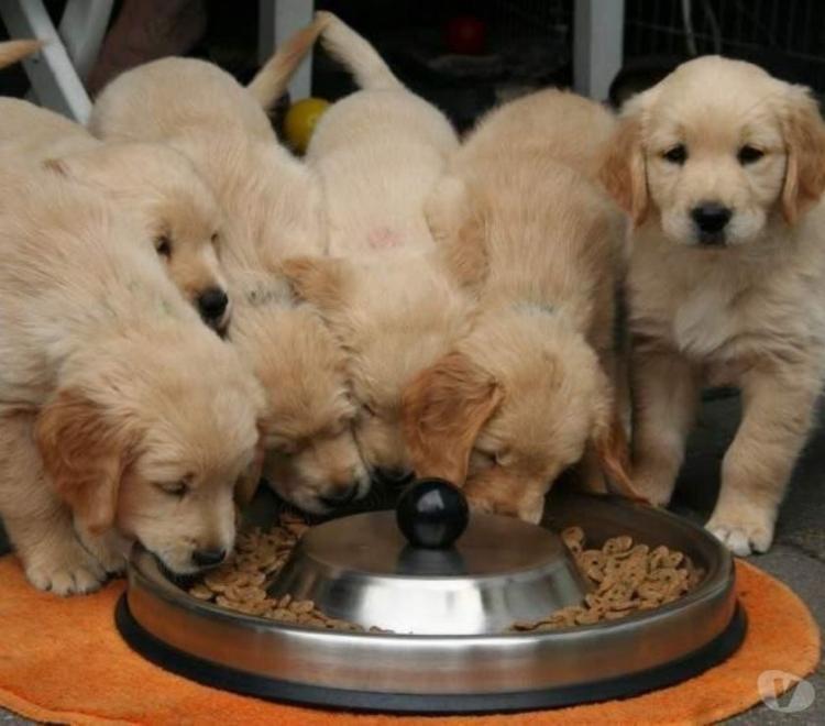 Cachorros golden retriever..