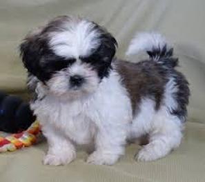 Regalo Cachorros Shih Tzu para su adopcion libre