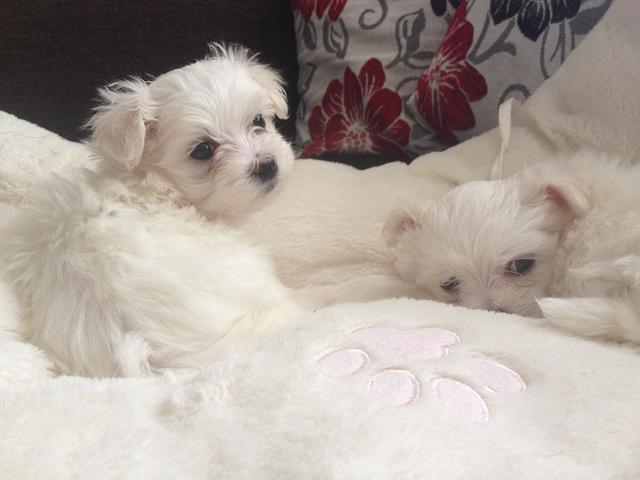 Cachorros Bichón Maltés para regalo