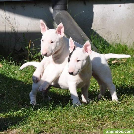 ¡estos hermosos cachorros de bull terrier - Abengibre