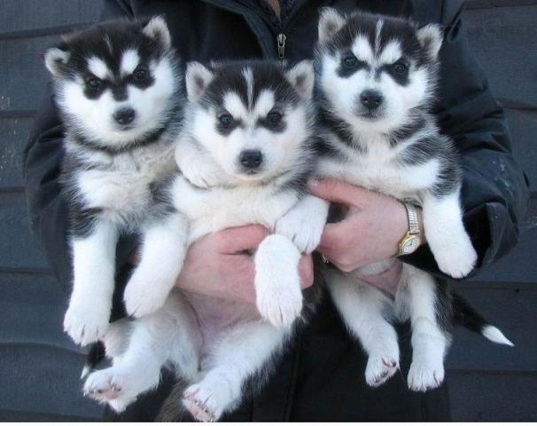 Regalo Husky Siberiano para Adopción macho y hembra