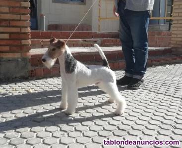 Fox terrier de pelo duro