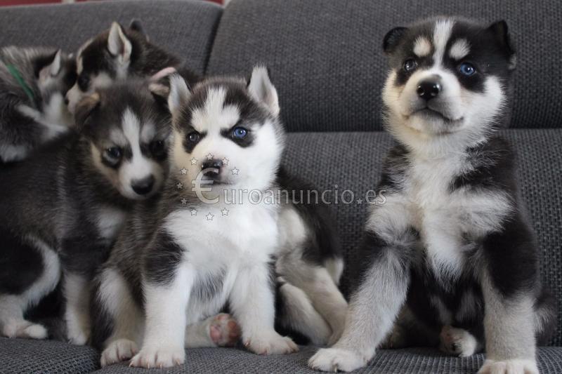 cachorros Siberian Husky hembra ojos azules