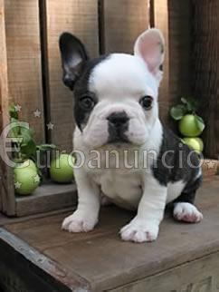 cachorros de bulldog francés para su aprobación