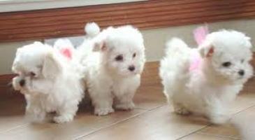 Regalo Mini Toy Puppies Bichon Maltes para adopción
