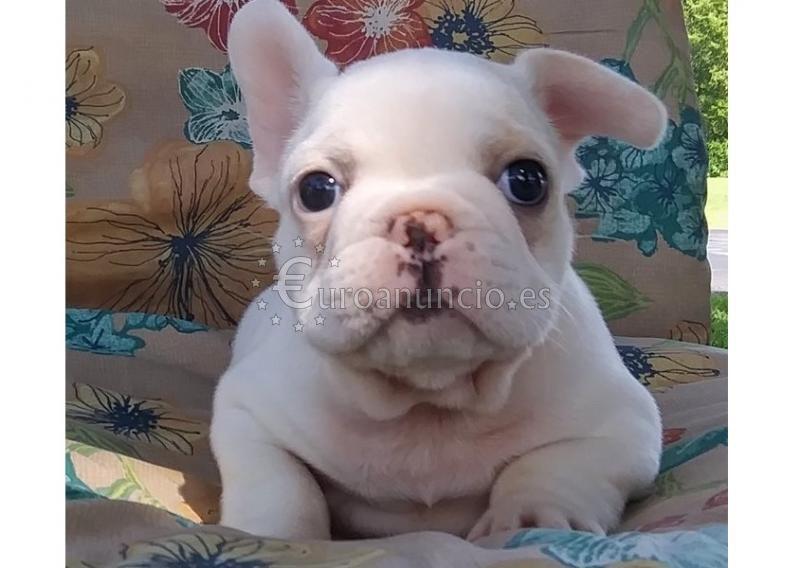 Bulldog francés cachorros disponibles