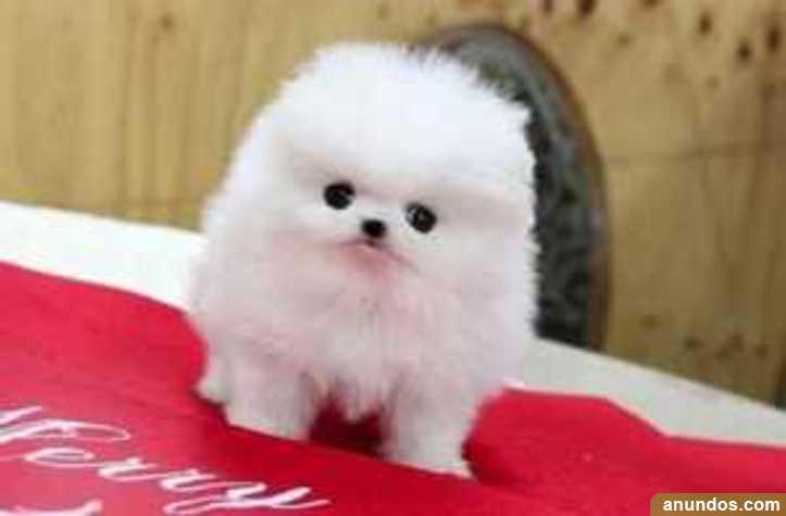 Cachorros pomeranian lulu gratis - Aguilón