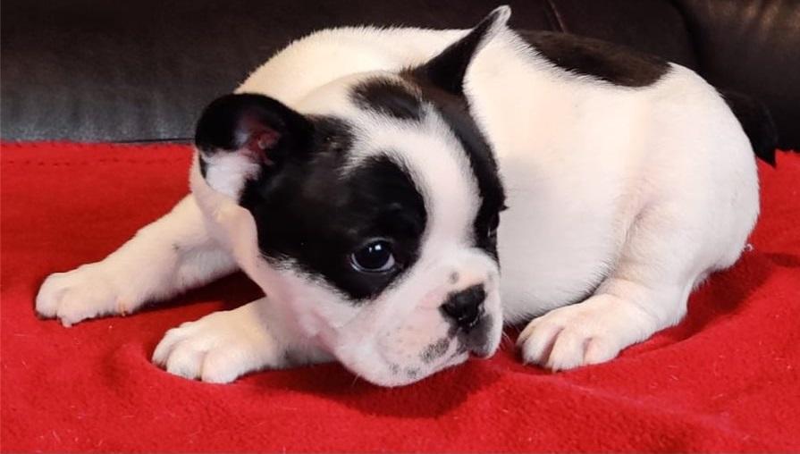 Dos preciosos cachorros de bulldog frances en venta