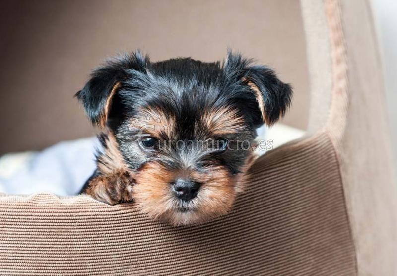 Dulces Yorkshire Terrier Cachorros