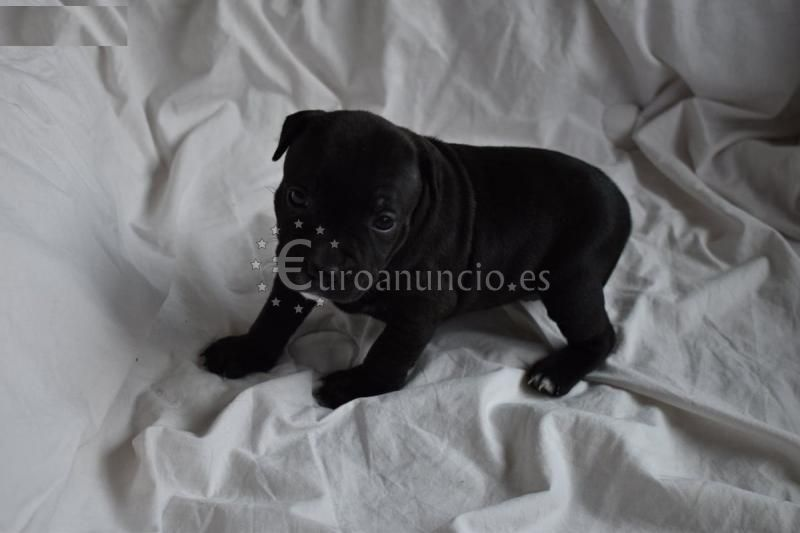 Magníficos staffordshire bull terrier