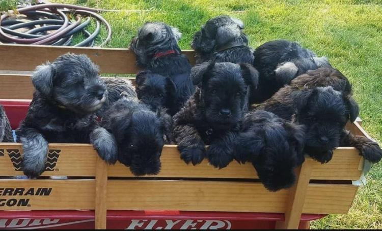 Magnificos cachorros de schnauzer miniatura