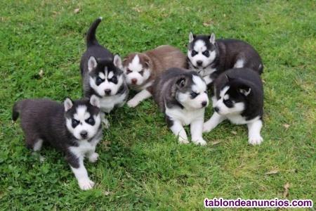 Preciosos cachorros de Husky pura raza