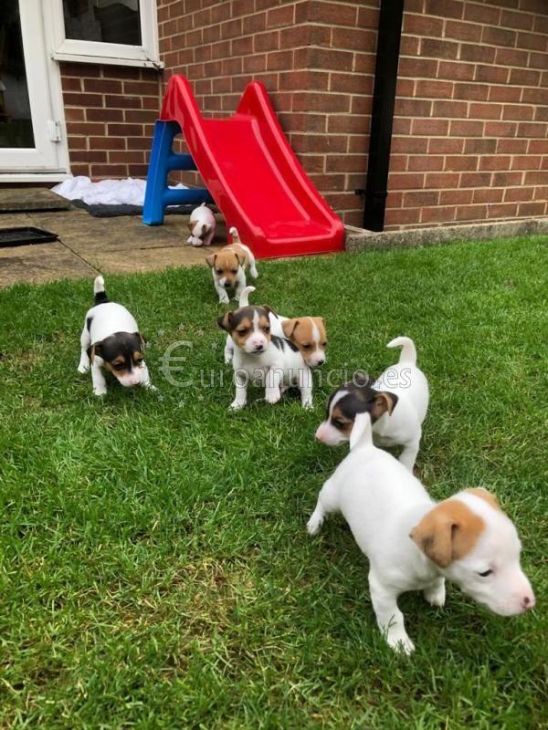 Preciosos cachorros de Jack Russell disponibles