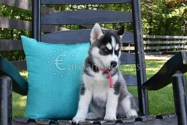 Cachorros de husky siberiano disponibles