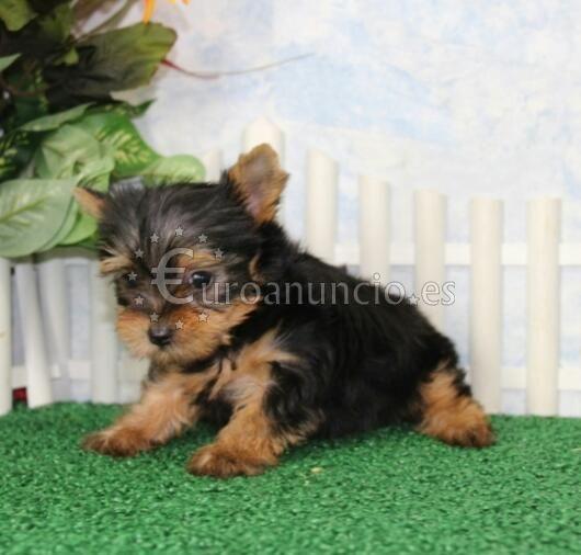 Hermoso cachorro de yorkshire de 3 meses