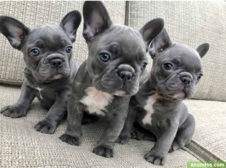 Regalo cachorros de bulldog frances 0fjj - Altorricón