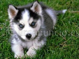 Regalo hermosos cachorros husky para adopción