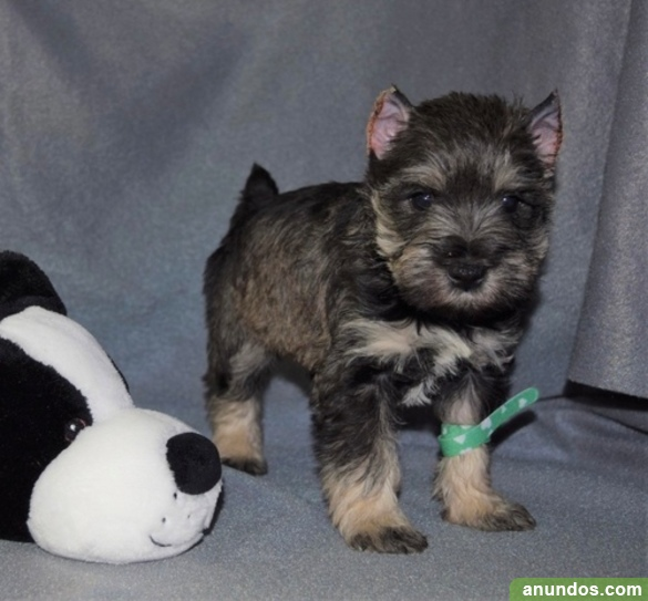 Lindos cachorros de schnauzer miniatura para adopción, -