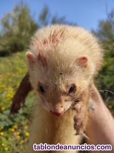 Hurones albinos ojos rojos