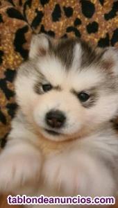URGENTE!!! Se vende cachorra de HUSKY SIBERIANO de 3 meses