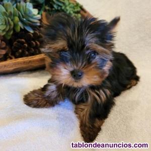 Cachorros yorkshire para adopción