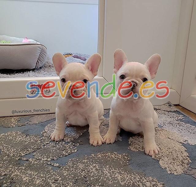 Cachorros de bulldog francés bien entrenados