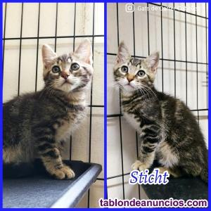 Gatito atigrado en adopción