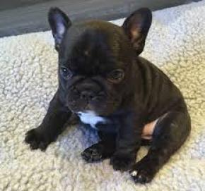 Regalo Economicos Cachorros Bulldog Frances para su adopcion