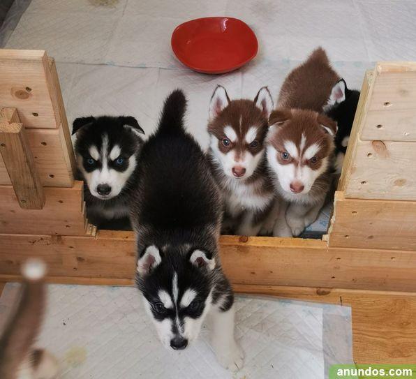 Cachorros de husky siberiano ojos azules - Madrid Ciudad
