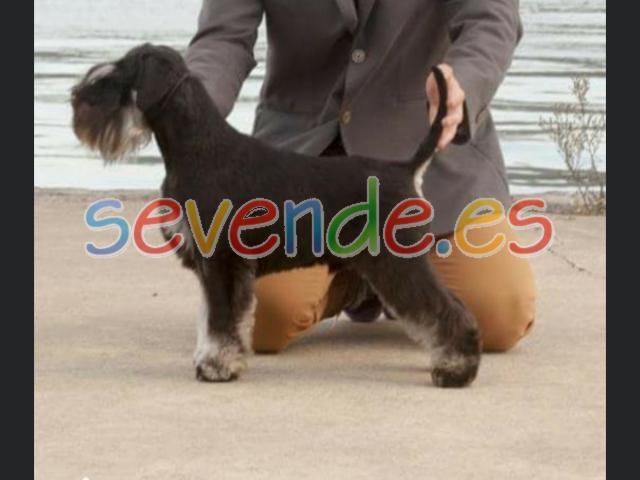 Vendo cachorros de Schnauzer miniatura negro