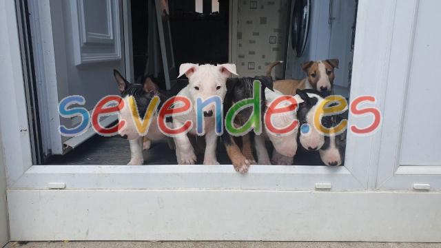 Autenticos cachorros de raza bull terrier