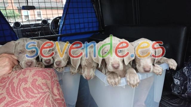 Cachorros de raza braco de weimar o weimaran