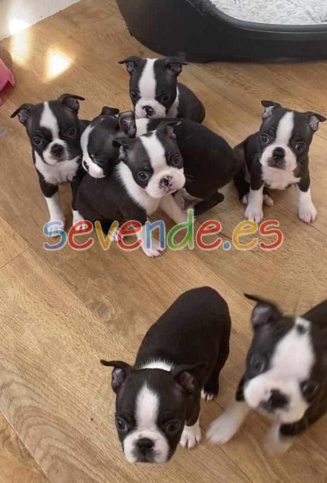 Espectaculares cachorros de boston terrier