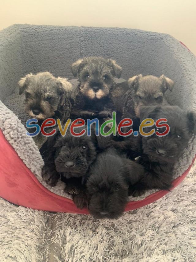 preciosos cachorros de schnauzer miniatura