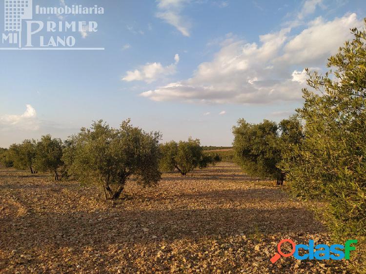 Se vende finca rustica destinada a olivo, la finca cuenta
