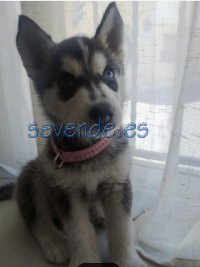 Vendo cachorro Husky hembra