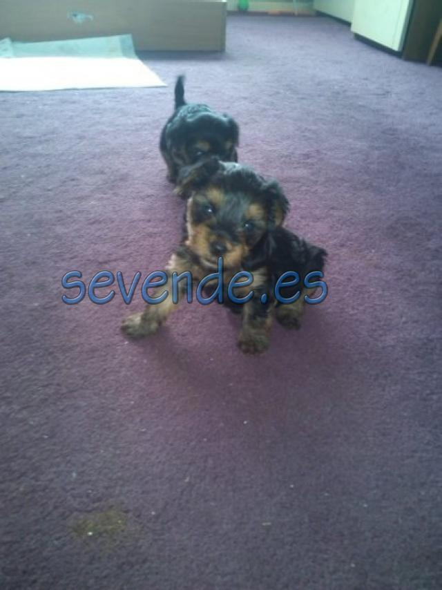 Precioso cachorro de Yorkshire Mini Toy