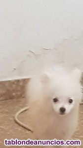 Se vende cachorro pomerania blanco lulu
