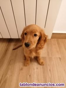 Vendo cachorro cocker