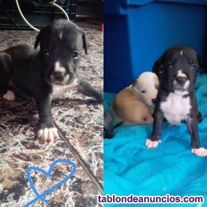 Cachorrito american standford & american pitbull terrier