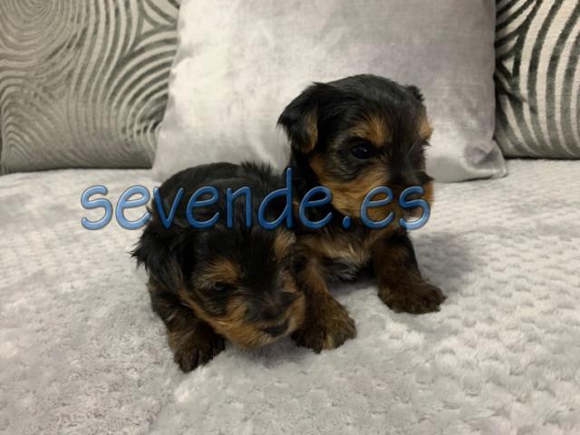 Preciosos cachorros yorkies pequeños