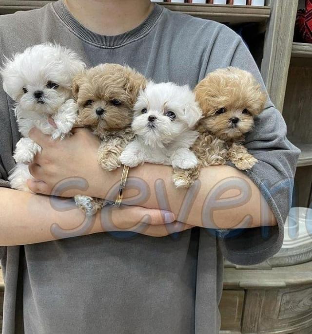 Preciosos cachorros de Caniche