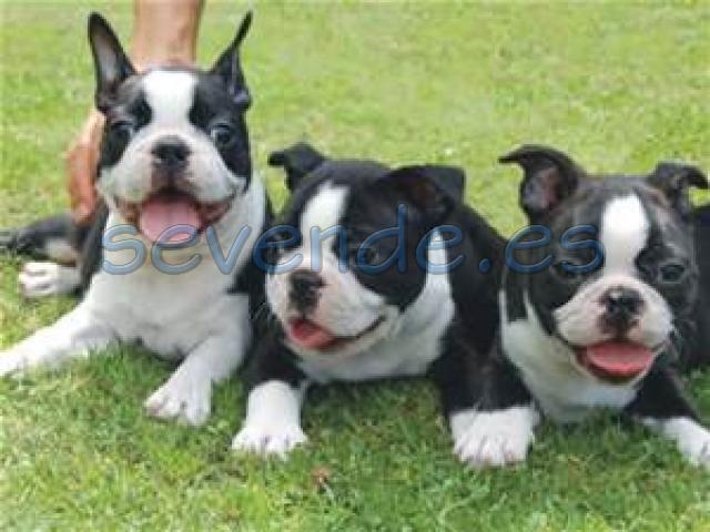 Cachorros de Boston Terrier cariñosos