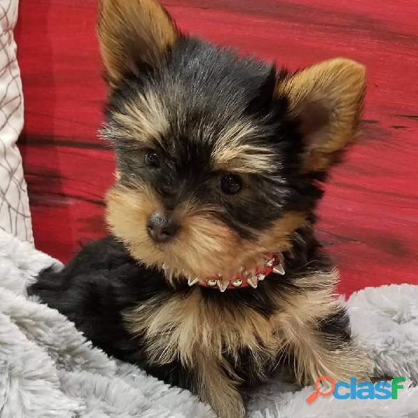 Regalo Cachorritos de Yorkshire Terrier miniatura.